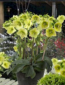 Helleborus or. King™-Cream