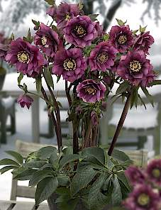 Helleborus or. King™-Double Red