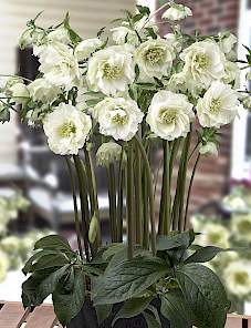 Helleborus or. King™-Double White