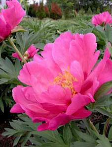 Paeonia Itoh-Watermelon Wine