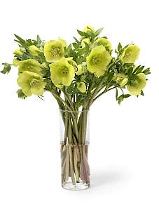 Helleborus or. Queens™-Picotee Yellow