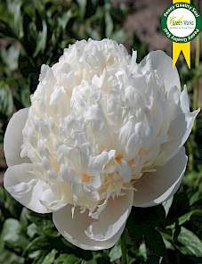 Paeonia-Colonel Owens Cousins
