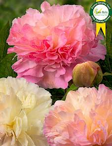 Paeonia-Lois' Choice